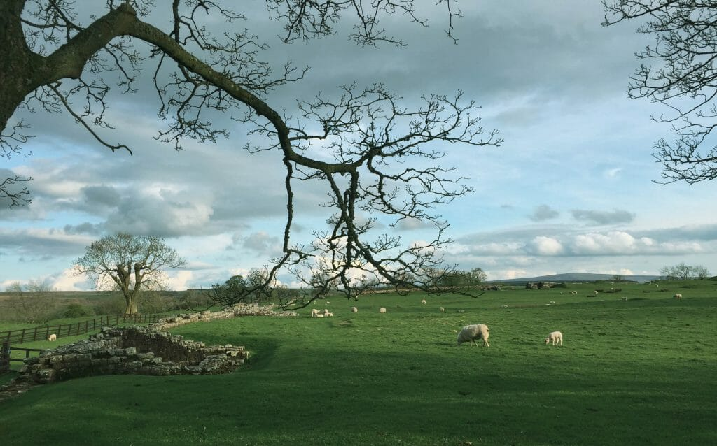 Sheep grazing in a pasture in Scotland Great peace
